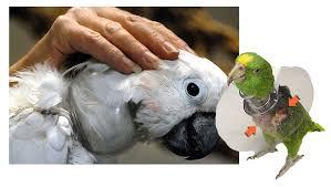 collar isabelino para aves, collarin isabelino para pajaros
