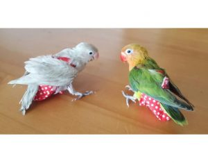 pañal y portapañal para loros pericos ninfas y aves