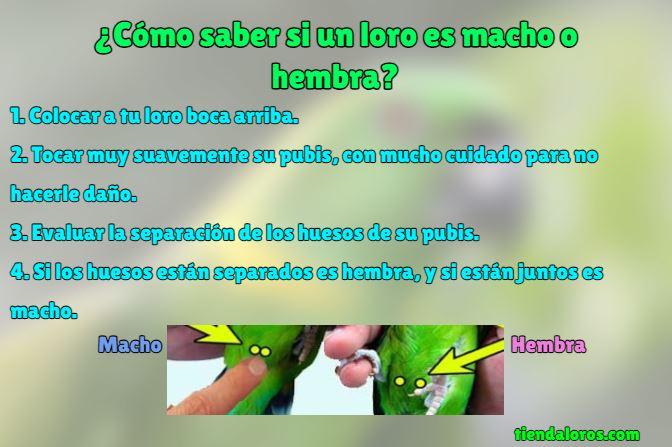 pasos para saber si un loro es macho o hembra. Infografía para descubrir el género de un loro perico guacamayo agaporni cacatúa ninfa