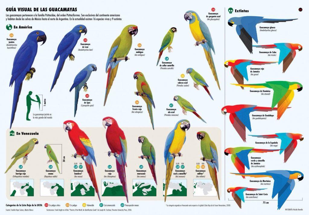 Infografía tipos de loros y guacamayos