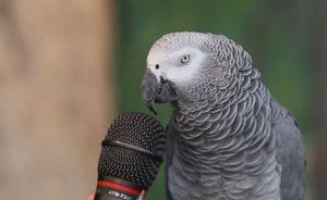 sonido de los loros, como es el sonido de un loro cotorro guacamayo