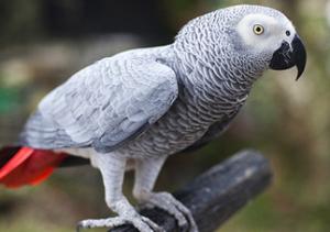 los mejores loros grandes para tener de mascota - loro gris africano yaco cola roja