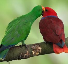 los loros eclectus son de distintos colores el macho y la hembra