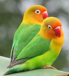 agapornis habladores - agaporni hablador, inseparables cantando, inseparables hablando