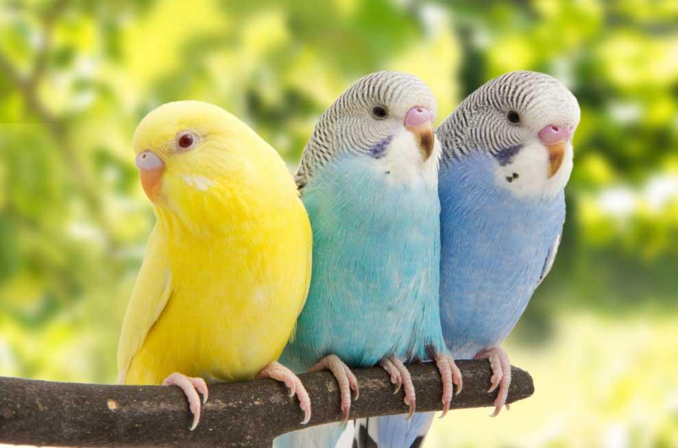 cantos de periquitos, cantos de los periquitos, sonidos de periquitos, cantos de pericos, los periquitos cantan