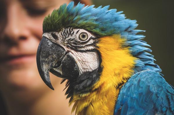 por que los loros inflan sus plumas, cuando una loro hincha sus plumas?