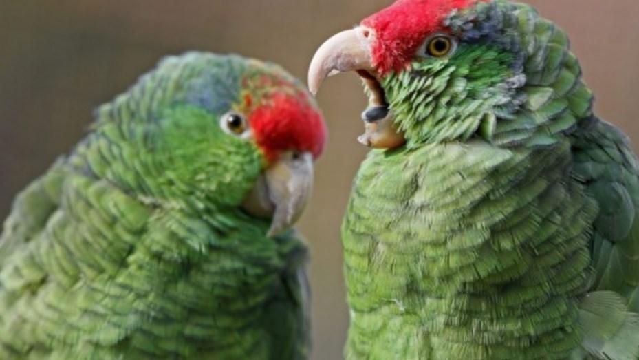 un loro esponja su plumaje en posicion de ataque, loro postura de ataque