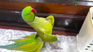 loro bailando, loros bailando, como enseñar a bailar a un loro, pájaros bonitos