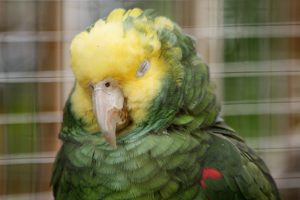 loro con plumas esponjadas, loro con plumas hinchadas, loro plumas infladas