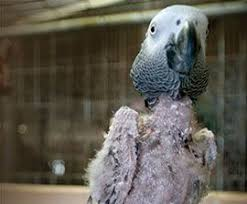 Mi loro se arranca las plumas: el picaje, porque se arrancan las plumas los loros, imagen de loros sin plumas