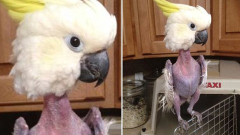 ninfa se arranca las plumas, agaporni se arranca las plumas, por que? imagenes de loros sin plumas