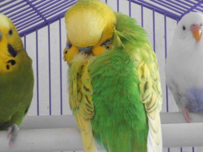 loro con plumas erizadas, loro con plumas hinchadas, loro esponjado