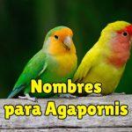 nombres para agapornis, nombres para inseparables, nombres bonitos y originales para agapornis