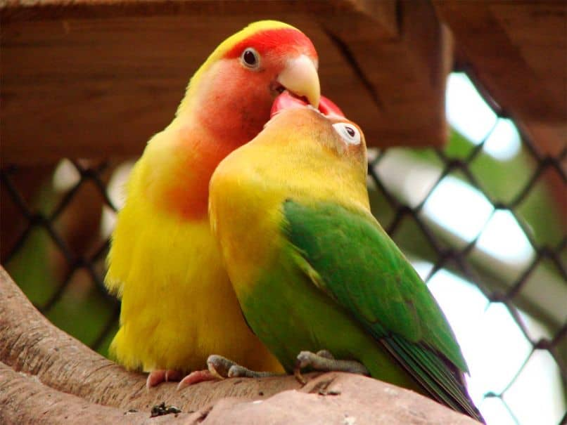 agapornis hermosos, aves inseparables, loros inseparables