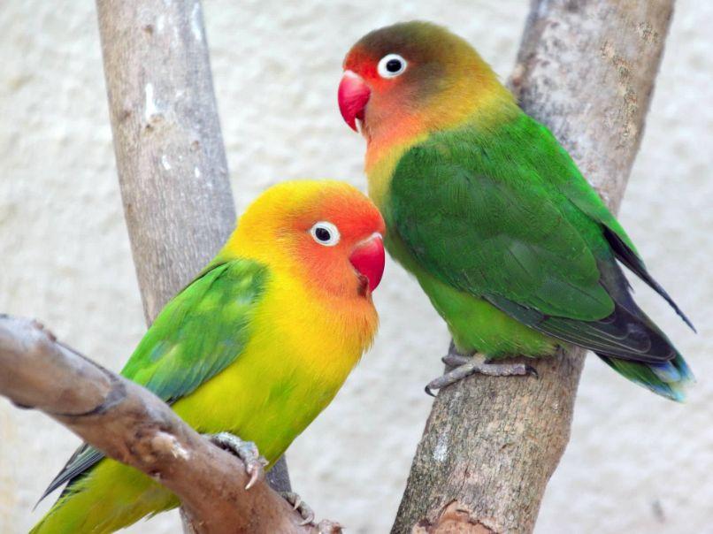 pareja de bellos agapornis fischeris amarillos con verde
