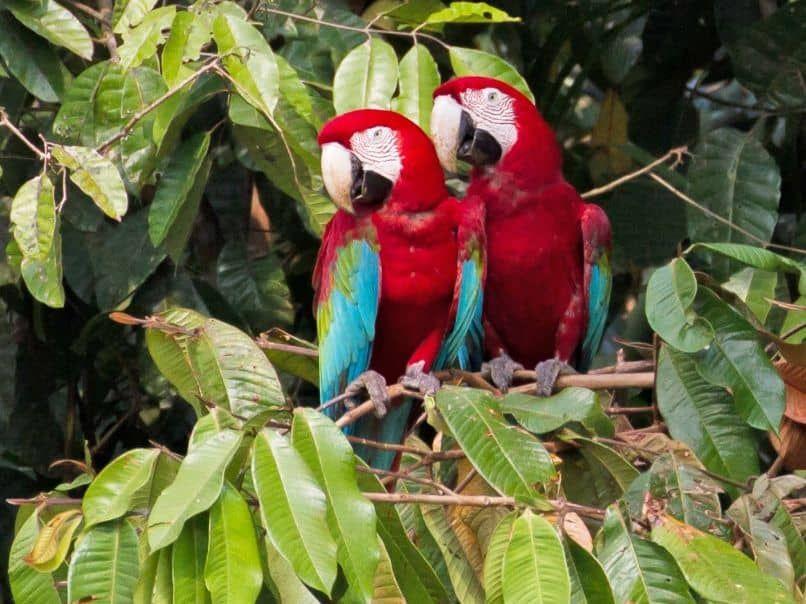 pareja de guacamayos rojos aliverde