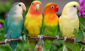 los agapornis o aves inseparables, como son los agapornis, características del agapornis