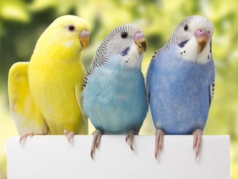 tres periquitos australianos