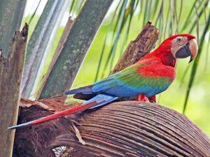 guacamayo rojo o aliverde, características y comportamiento como mascota