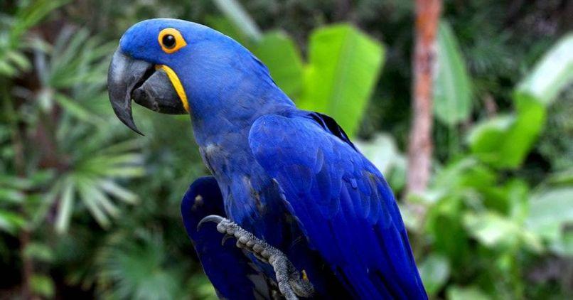 comportamiento como mascota del guacamayo jacinto o guacamayo azul