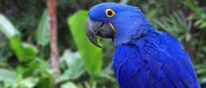 guacamayo azul o guacamayo jacinto, características, todo sobre el guacamayo azul