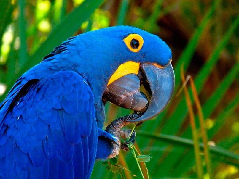 guacamayo azul o guacamayo jacinto con gran pico