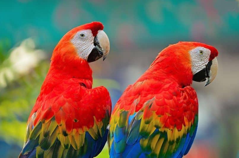 pareja de guacamayos rojos