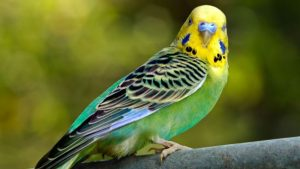 perico australiano de colores