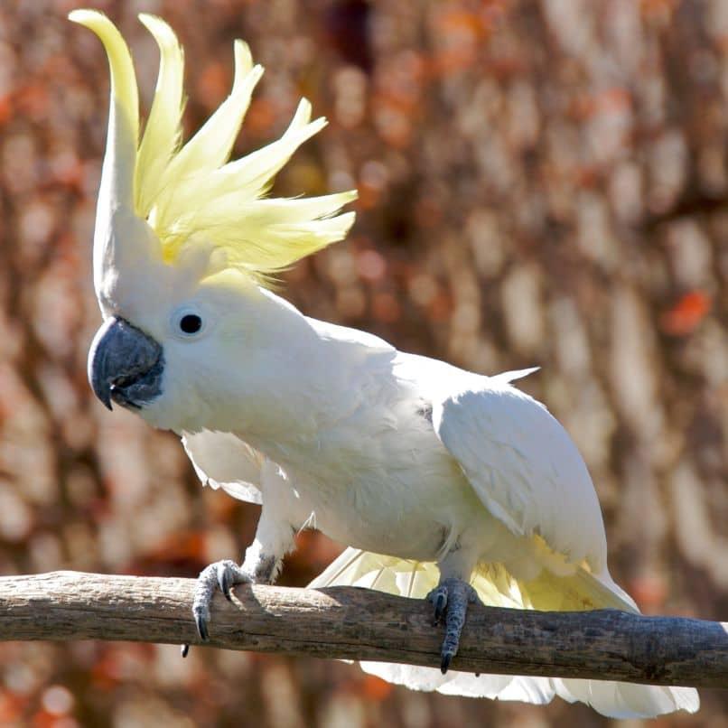 reproducción de la cacatúa galerita en árbol