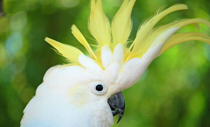 cacatua sulphurea con cresta amarilla, cacatua sulfúrea
