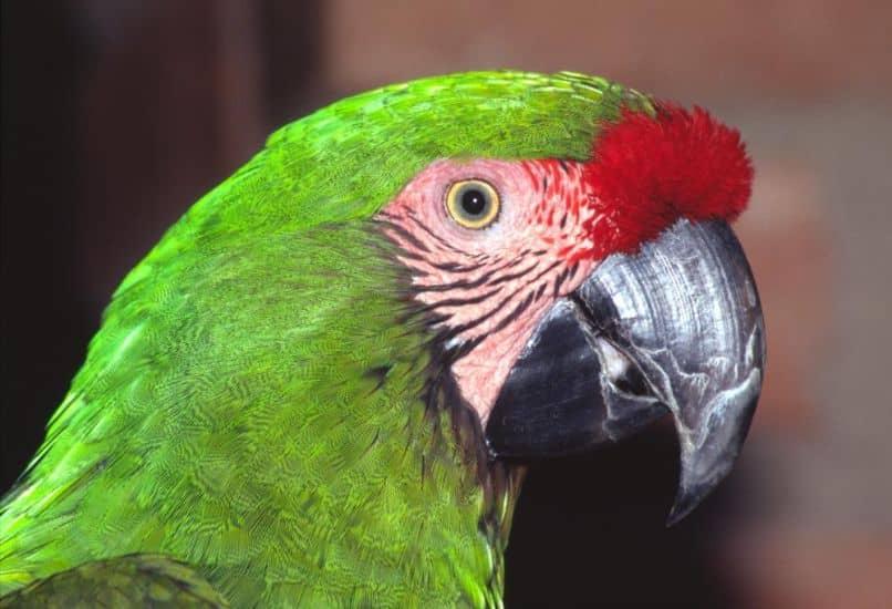 El guacamayo verde o ara militaris, como es, características