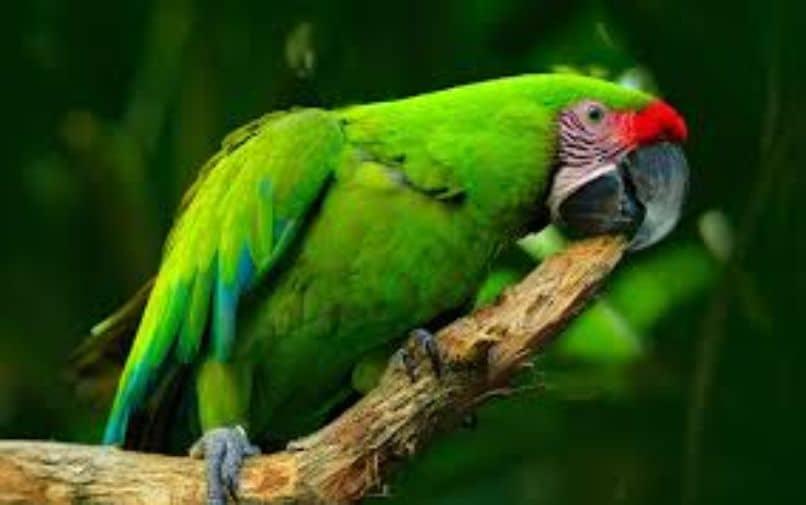 guacamayo verde calando. Guacamayo ara militaris