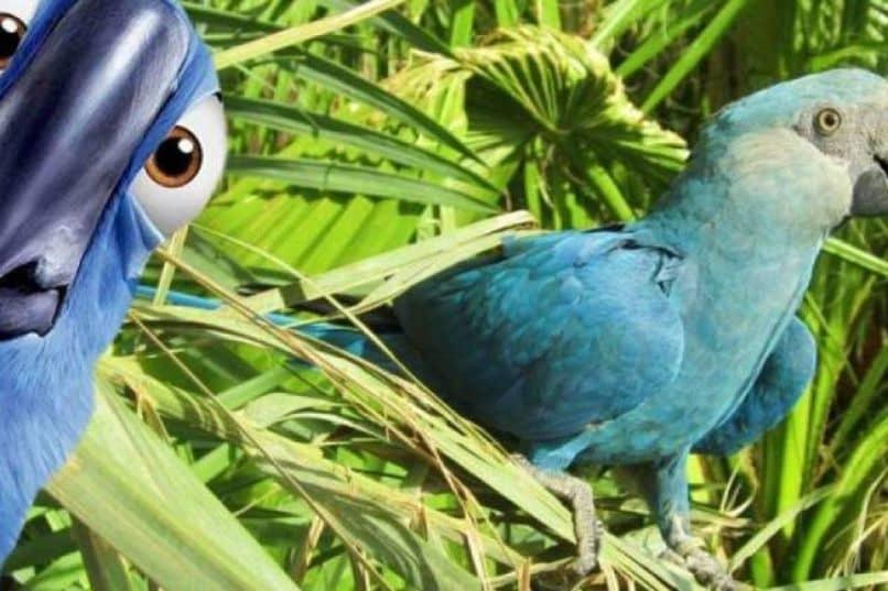 guacamayo de spix color azul en la película rio