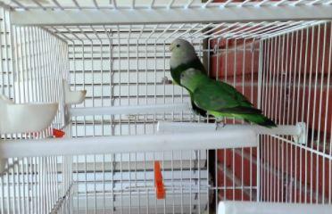 agapornis canus mascota, comportamiento