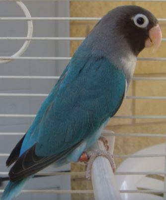 agapornis nigrigenis azul, mutaciones de agapornis nigrigenis
