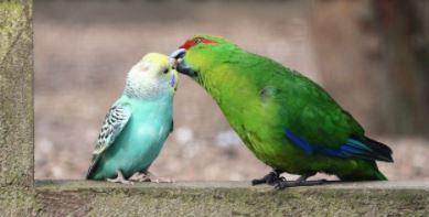 Otras aves que pueden vivir con loros
