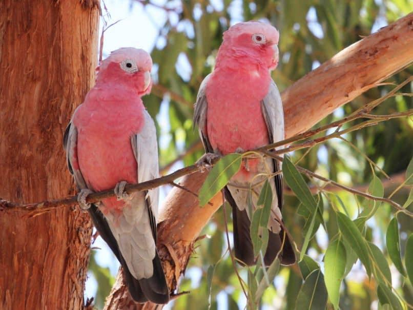dos cacatúas rosas en árbol, características de las cacatúas galah
