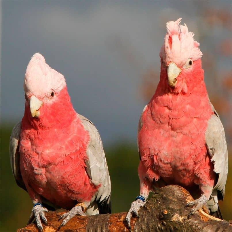 reproducción de las cacatúas rosadas, cacatua rosa, cacatúas galah