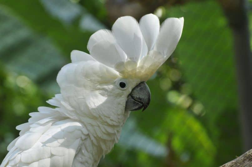 bella cacatua blanca con cresta