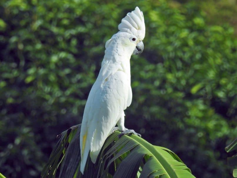 cacatua blanca estilizada