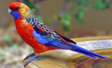 características del loro rosella multicolor