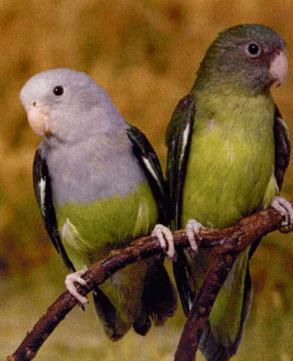 como saber si un agapornis canus es macho o hembra, sexo del agapornis canus