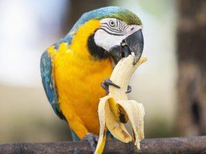 ¿Cuántas veces se le da de comer a un loro? cuantas veces debe comer un loro, loro comiendo