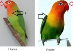 diferencias entre agapornis lilian y el agapornis fischeri