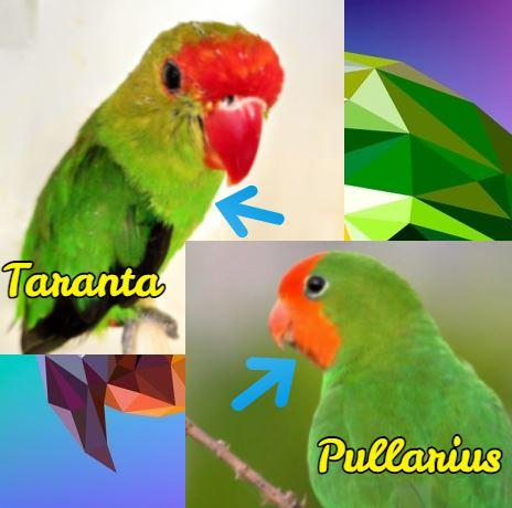 diferencias entre el agapornis taranta y el pullarius