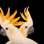 cacatúa sulphurea, como son las cacatúas sulfúreas, características, donde viven, son buenas mascotas