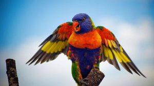 el loro arcoíris, como es el loro arco iris, características y todo sobre este loro
