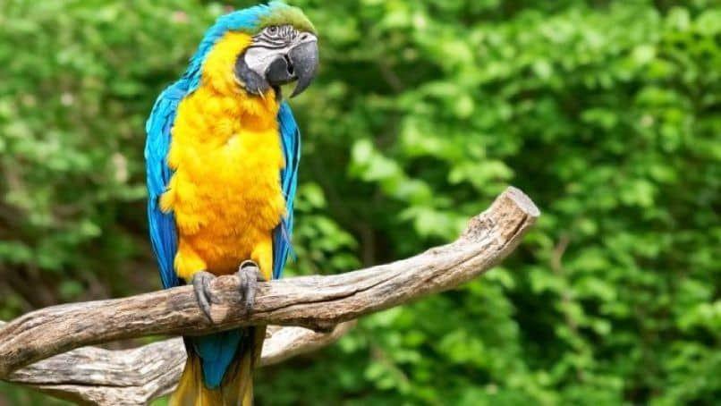 crianza del hermoso guacamayo azul y amarillo Ara ararauna