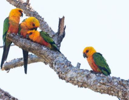 hábitat de la cotorra jandaya aratinga