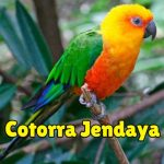 información y características de la cotorra jendaya, aratinga jandaya